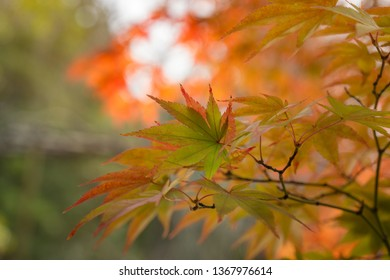Red and Green Maple Leaves on a blurred autumn foliage background at Koko-en Garden in Himeji, Japan.