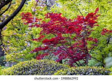 Red and green Maple with some Cherry flowers in the Japanese garden inside the Botanical Garden of Rome, Italy