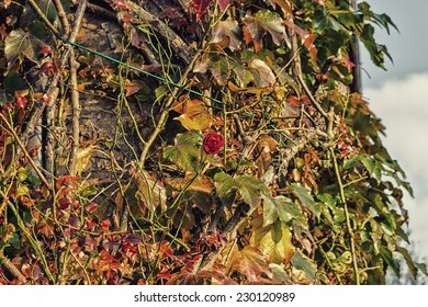 Red, green and orange leaves of a Boston Ivy, parthenocissus tricuspidata veitchii, and red rose in autumn on an old grunge wall in a tipical farmer house in Italian countryside