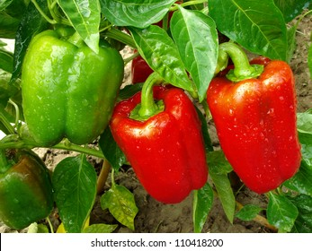 red and green peppers growing in the garden