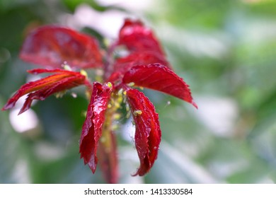 Red and green rose leaves covered with small plant louse