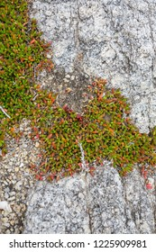 Red and green succulents on the rocks at Whisky Bay, Wilsons Promontory, Australia