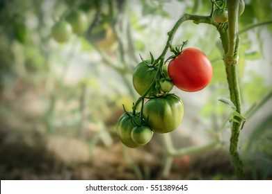 Red and green tomatoes grow on twigs summer