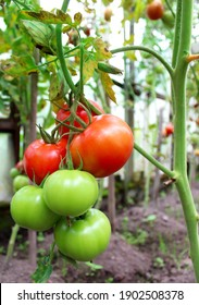 Red and green tomatoes on a vegetable patch in the garden.