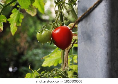 Red and green tomatoes with water droplets