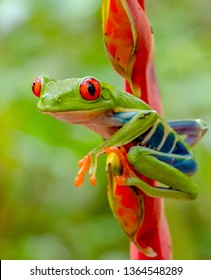 Red and green tree frog sits on red flower looking left