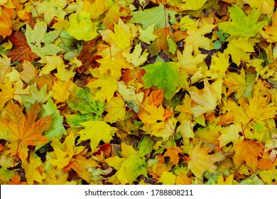 Red, green and yellow leaves of the maples had fallen to ground.