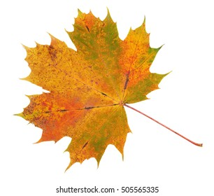 Red, green, yellow maple leaf on white background