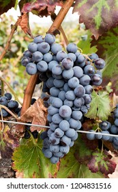 Red grenache grapes ready to be harvested at Priorat wine making region, Tarragona, Spain.