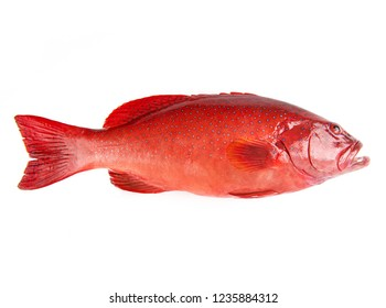Red Grouper fish isolated on white background.