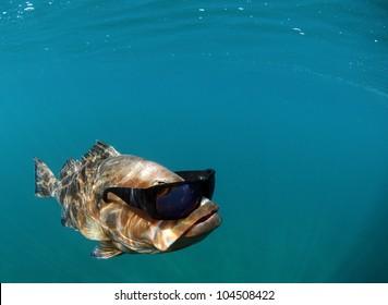 Red grouper underwater in ocean with sunglasses