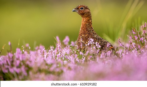Red grouse, male cock bird facing left stood in colourful purple heather on Grouse Moor in Yorkshire, England, UK.  Blurred, clean, green background. Scientific name: Lagopus Scotica.  Landscape.