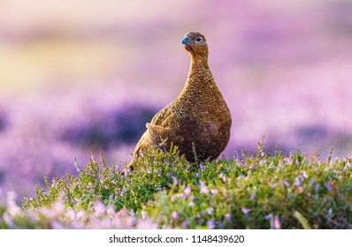 Red Grouse, a male cockbird looking to the left in colourful purple heather.  Blurred background.  Scientific name: Lagopus lagopus scotica.  Horizontal.