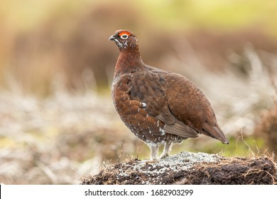 Red Grouse male (Scientific name: Lagopus lagopus) in early Srping time, facing left with bright red eye combs. Blurred background.  Close up.  Horizontal.   Space for copy.