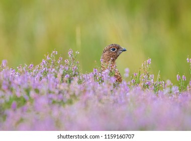 Red Grouse in natural habitat of purple heather and grasses on Grouse Moor.  Heather in full bloom. Scientific name: Lagopus lagopus scotica.  Horizontal.