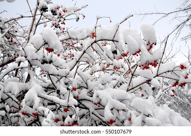 The red guelder-rose covered with snow