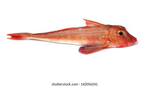 Red Gurnard Fish (Chelidonichthys cuculus) on White Background
