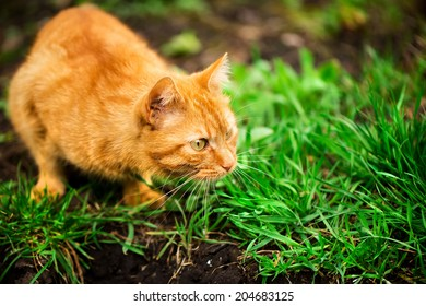 Red hair cat try to hunting in the garden
