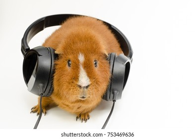 red haired audio-pig