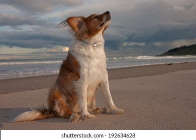 red haired collie type dog at the beach with a cloudy blue sky, waves and white sand.
