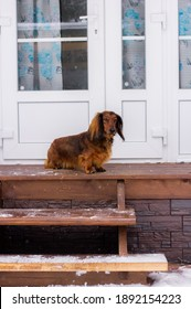 Red haired dachshund waiting in front of the door