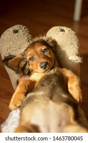 Red haired dachshund's puppy lying on knees belly up at home