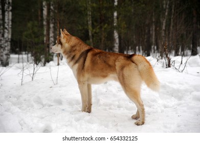 Red haired husky in winter