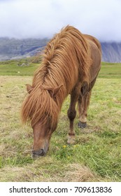 A red haired Icelandic horse grazing.