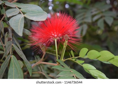 Red hairy flower Tanzania