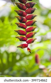 A red handing Heliconia rostrata flower, also known as Hanging Lobster Claw