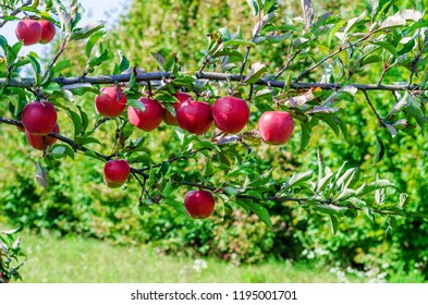 red hanging apples on a branch in the garden. Good harvest, fruit picking, healthy nutrition