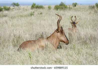 Red Hartebeest, Addo Elephant National Park, Eastern Cape, South Africa