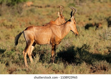 A red hartebeest antelope (Alcelaphus buselaphus) in natural habitat, South Africa