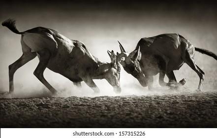 Red hartebeest dual in dust - Alcelaphus caama -  Kalahari desert -  South Africa