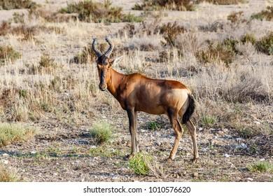 red hartebeest, Etosha National Park, Namibia