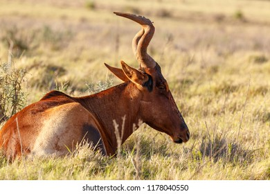 Red hartebeest lying and chilling in the grass in the field