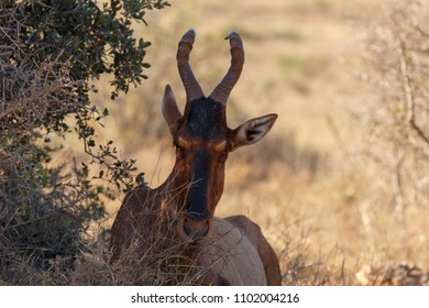 Red Hartebeest is peeping behind the trees
