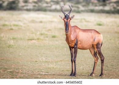 Red hartebeest standing in the grass and starring at the camera in the Kgalagadi Transfrontier Park, South Africa.