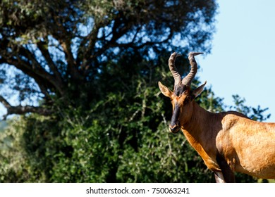 Red Hartebeest standing under the tree in the field.