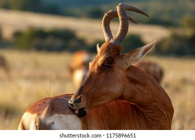 Red hartebeest twisting his body to bite his buttocks