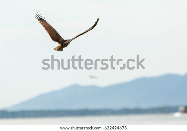 Red Hawkredbacked Seaeagle Please Download Large Stock Photo (Edit