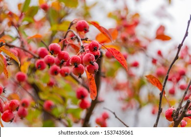 Red hawthorn berries on the Bush. Medicinal and ornamental plant. Autumn rainy day.