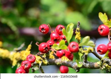 Red Hawthorn Berries in summer, England, UK