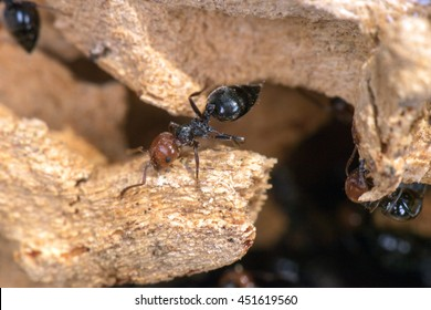 Red head black body fire ants honeypot Myrmecocystus detail macro inside anthill on a tree