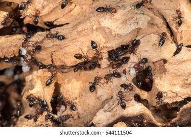 Red head black body fire ants honeypot Myrmecocystus detail macro inside anthill on a tree carryng larva