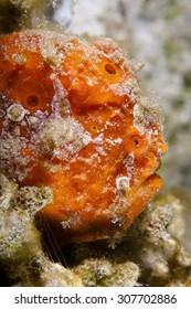 Red Head A frogfish waiting for prey