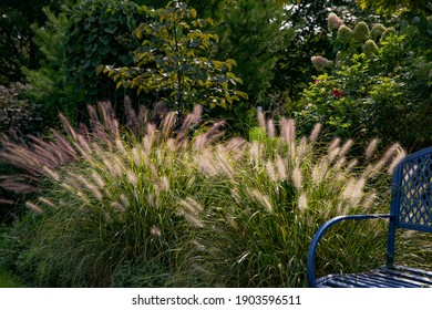 Red head ornamental grasses pennisetum alopercuroides, ornamental grass with whimsical plumes highlighted by the late afternoon sun, are a standout in this Chicago garden.  - Shutterstock ID 1903596511