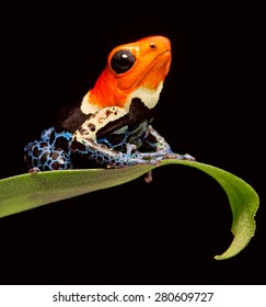 red head poison dart frog Ranitomeya fantastica tropical amphibian from Amazon jungle in Peru. Macro of a bright poisonous rainforest animal