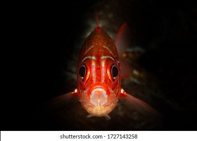 red head robust soldierfish fish