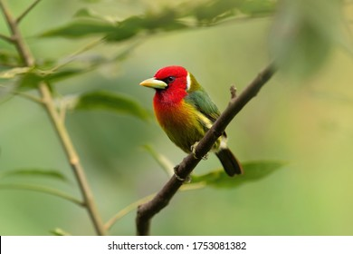 Red headed barbet bird, Costa Rica